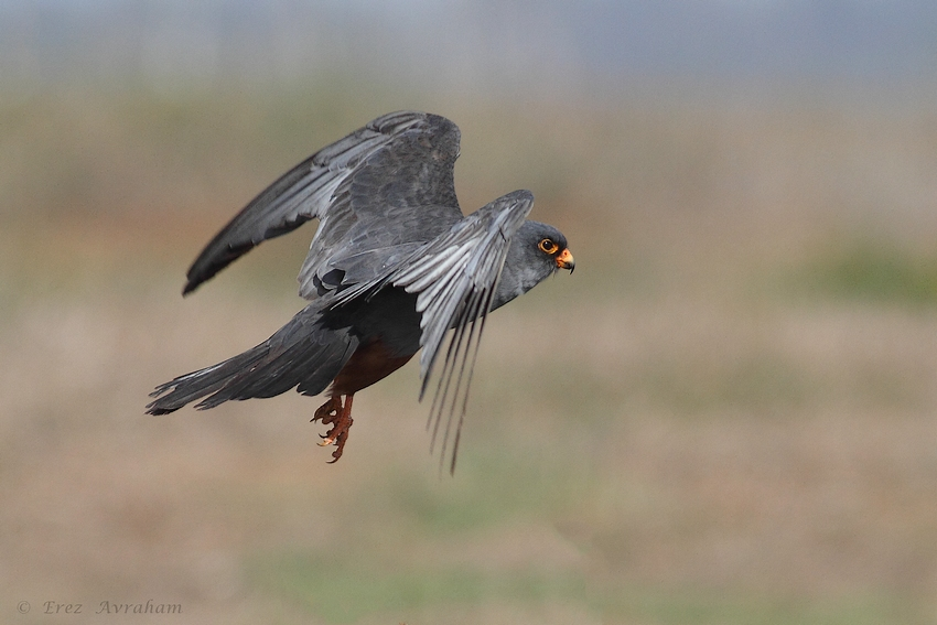 © erez avraham - Red Footed Falcon
